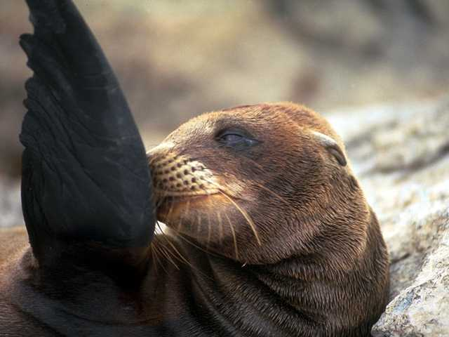 Galapagos - Sea Lions (5 images) 2; Image ONLY