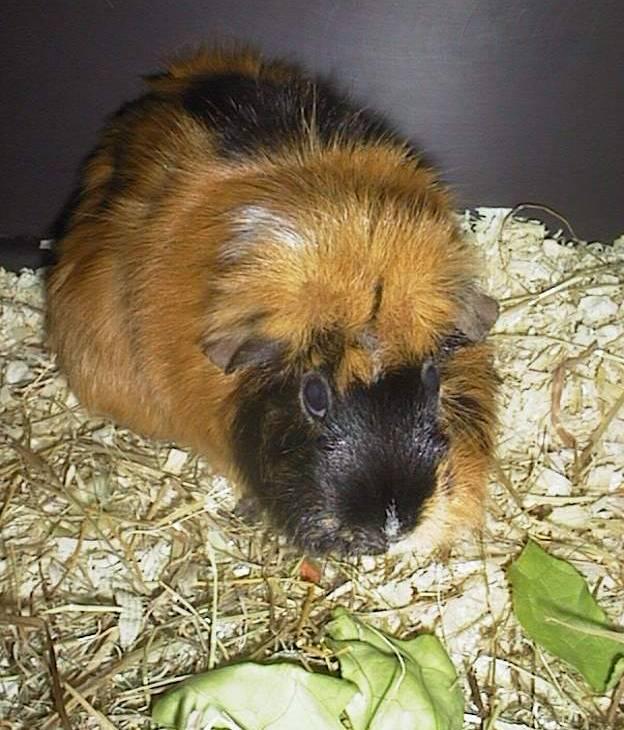 Ginger01-Guinea Pig-by hmm3.jpg