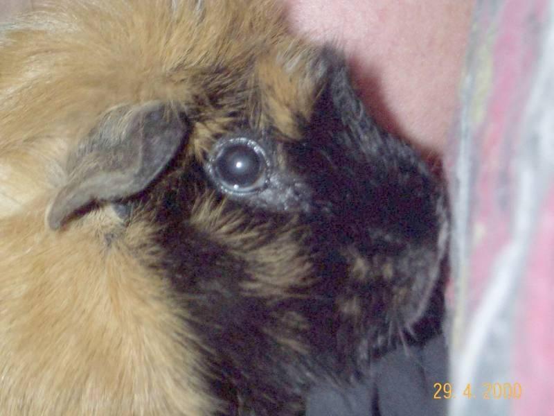 Ginger02-Guinea Pig-by hmm3.jpg