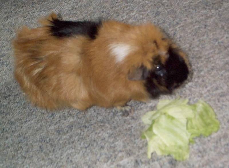Ginger05-Guinea Pig-by hmm3.jpg