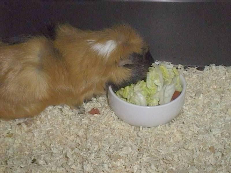 Ginger06-Guinea Pig-by hmm3.jpg