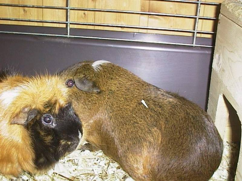 Ginger Doogie06-Guinea Pigs-by hmm3.jpg