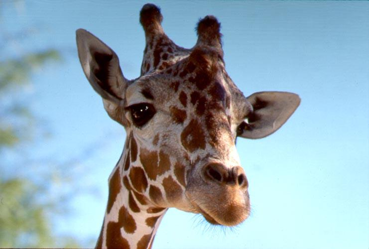 'Nother Giraffe; Image ONLY