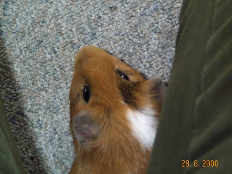 Gizmo01-Guinea Pig-by hmm3.jpg