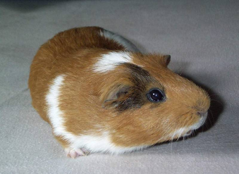 Gizmo03-Guinea Pig-by hmm3.jpg