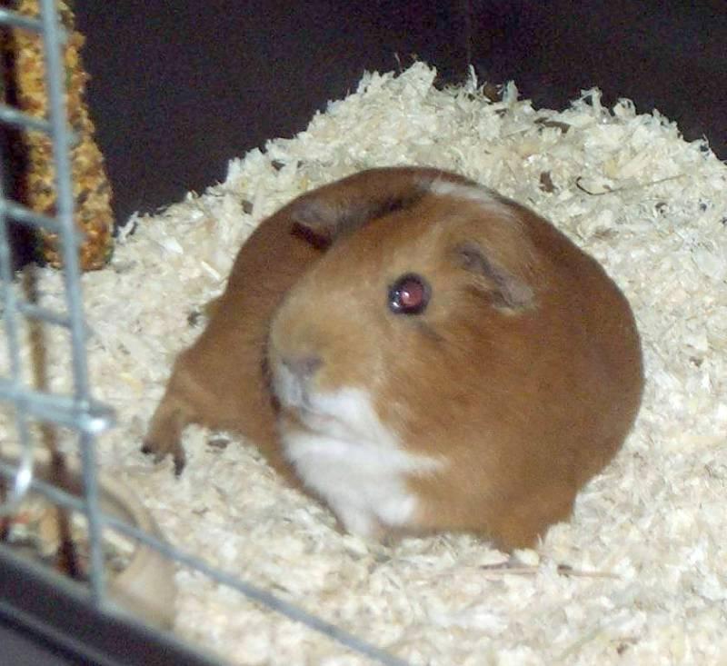 Gizmo04-Guinea Pig-by hmm3.jpg