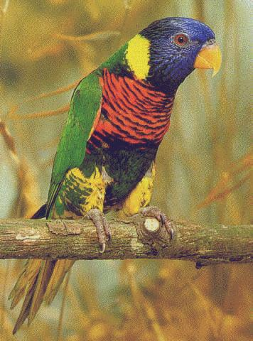Lories: Green Naped Lory; Image ONLY