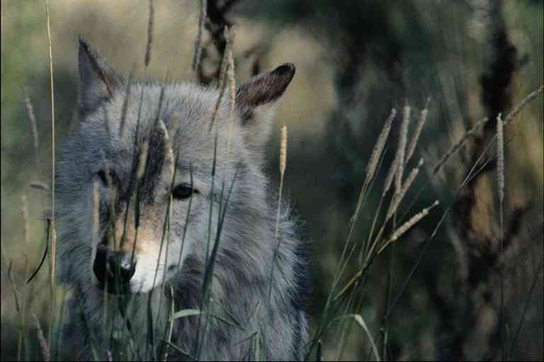 Grey-Wolf; Image ONLY
