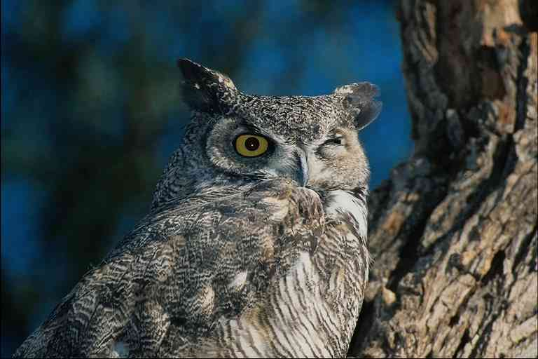 Grey-Owl; Image ONLY
