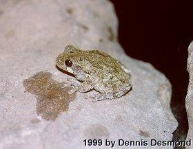 Gray Tree frog #2; Image ONLY