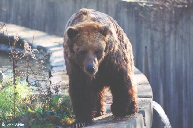 Kodiak Bear-by John White.jpg