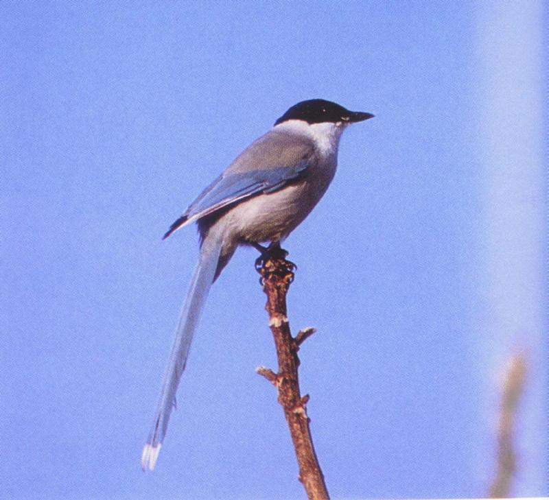 Azure-winged Magpie (Cyanopica cyana) - 물까치; DISPLAY FULL IMAGE.