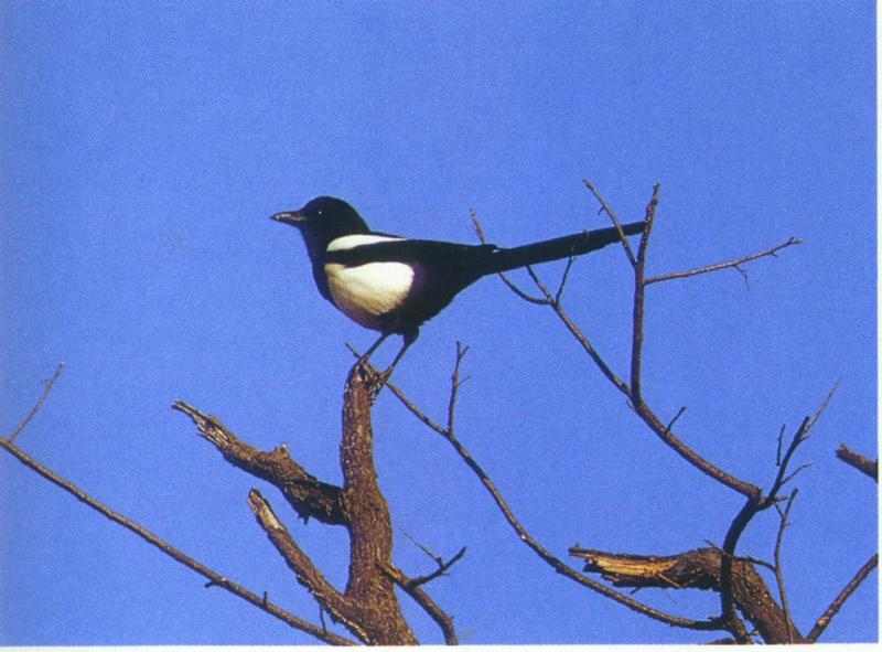 Black-billed Magpie (Korea); DISPLAY FULL IMAGE.
