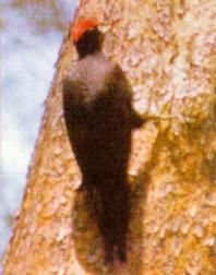 Korean Black Woodpecker (까막딱다구리); Image ONLY