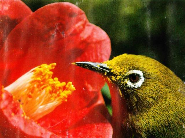 Bird of Korea - Japanese White-eye (1/1) - 동박새; Image ONLY