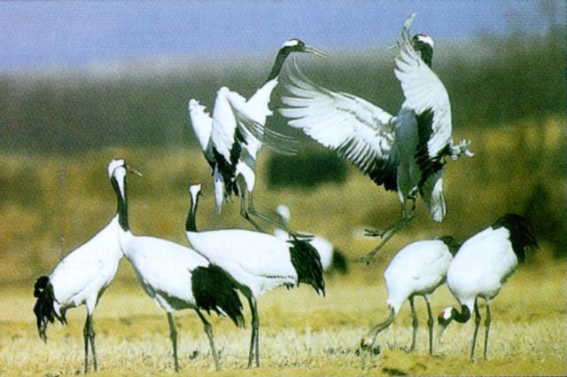 Manchurina Red-crowned Cranes (1/1); Image ONLY