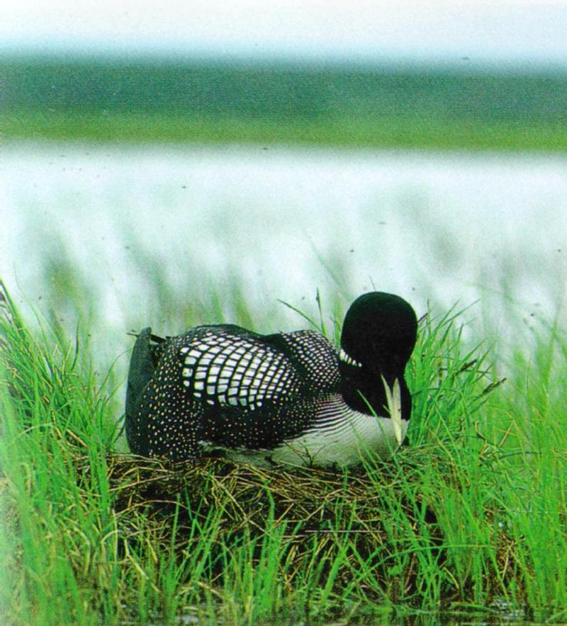 Yellow-billed Loon 1 - Summer plumage (흰부리아비); DISPLAY FULL IMAGE.