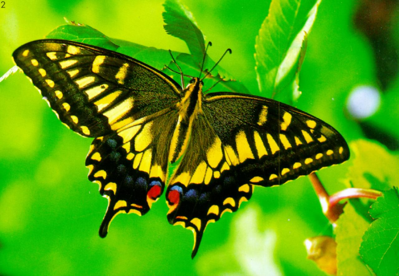 http://animal.memozee.com/animal/a4/KoreanInsect-Common_Swallowtail_Butterfly_J02-hanging_leaves.jpg