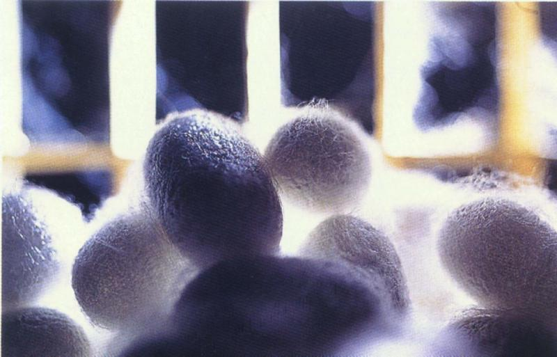 Silkworm cocoons (Bombyx mori) <!--누에나방 고치-->; DISPLAY FULL IMAGE.