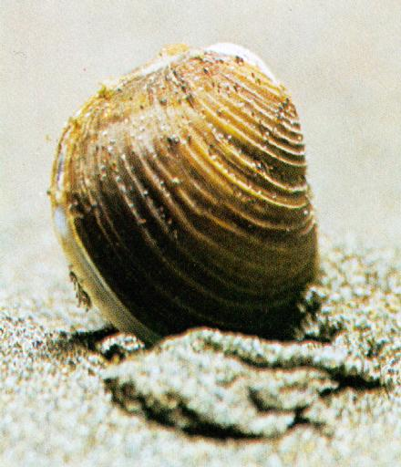 Asiatic Greater Freshwater Clam (Corbicula leana) - 참재첩; Image ONLY