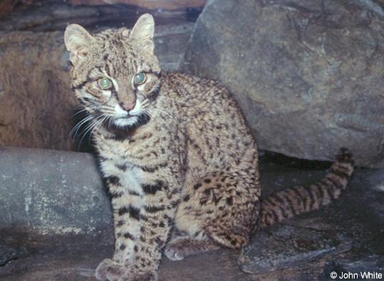 Leopard cat2-by John White.jpg