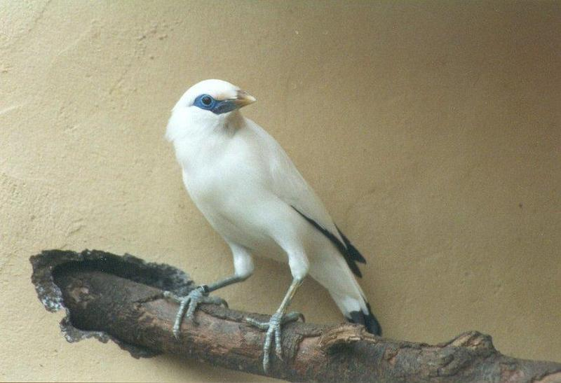 Birds from El Paso Birdpark - bali_starling1.jpg; DISPLAY FULL IMAGE.