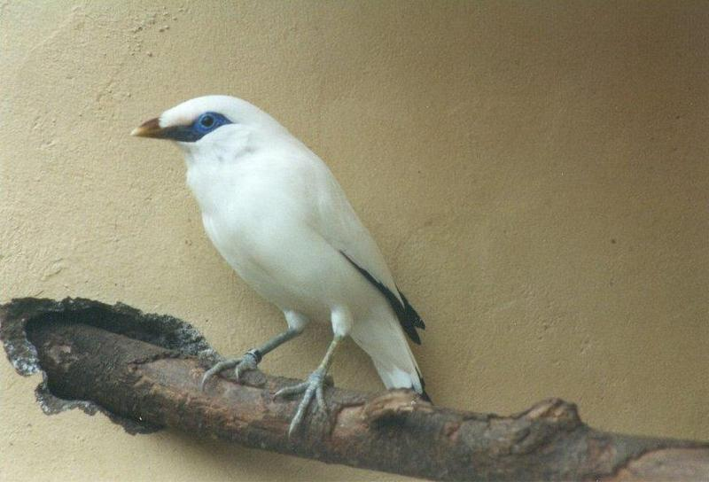 Birds from El Paso Birdpark - bali_starling2.jpg; DISPLAY FULL IMAGE.