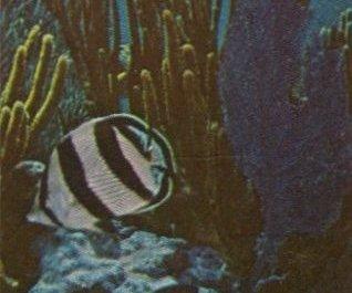 MKramer-Banded butterflyfish-in coral.jpg