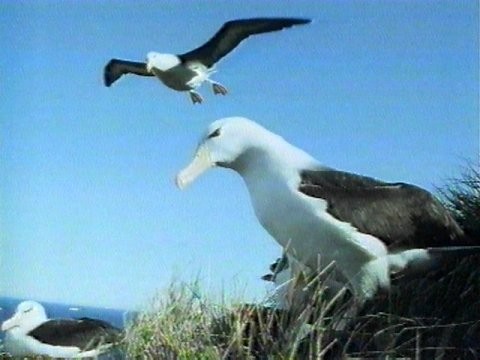 Re: Request: Albatross - black-browed albatross.jpg; Image ONLY