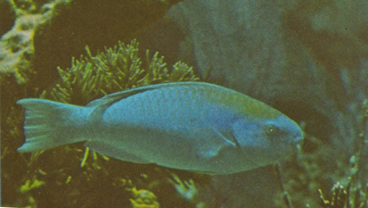 Re: Looking for Caribbean Tropical Fish the more colorful the better - blue_parrotfish.jpg; Image ONLY