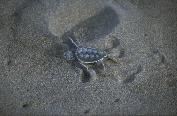 Re: needed,pics of sea turtles - green_turtle_hatchling.jpg; Image ONLY