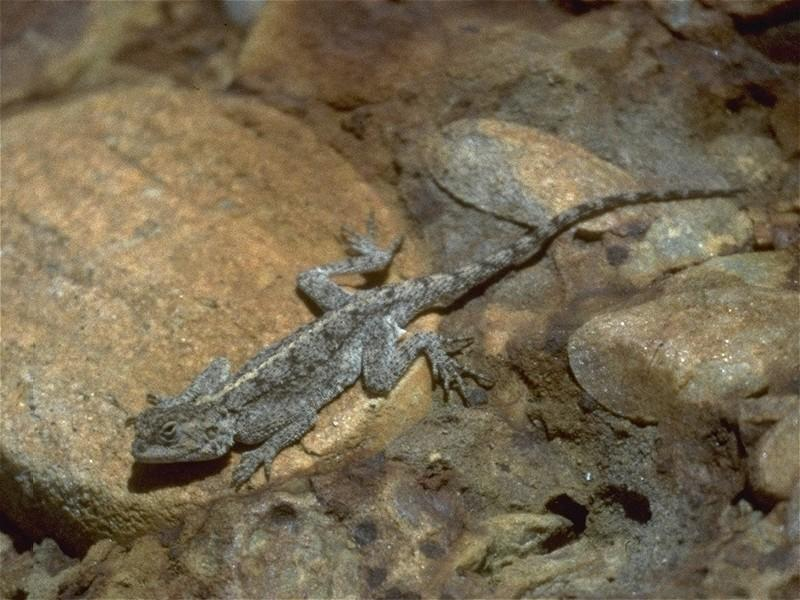 Lizards - Ground_Agama_2.jpg; Image ONLY