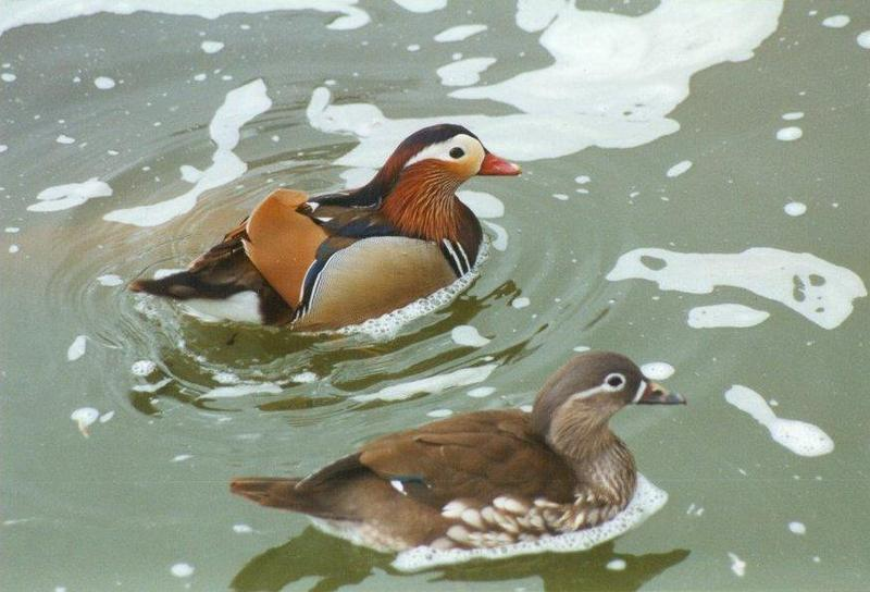 Birds from El Paso Birdpark - mandarin_ducks1.jpg; DISPLAY FULL IMAGE.