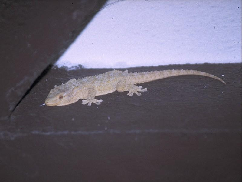 Lizards - Moorish_Gecko_1.jpg; Image ONLY