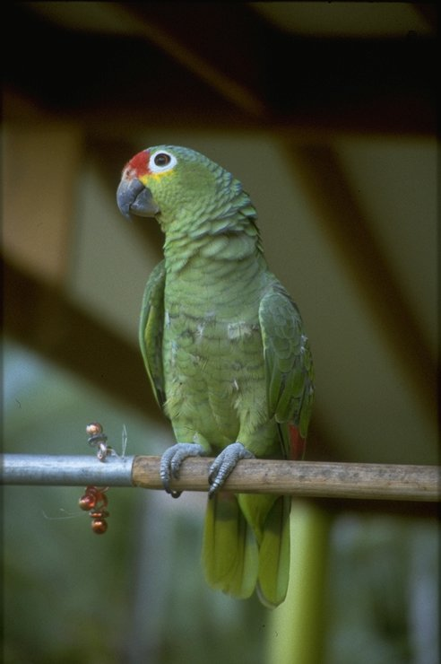 Re: i am looking for parrots - Red-lored Parrot (Amazona autumnalis); Image ONLY