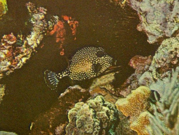 Re: Looking for Caribbean Tropical Fish the more colorful the better - smooth_trunkfish.jpg; Image ONLY