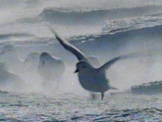 Re: Request: petrels - Snow Petrel - snowpetrels3.jpg; Image ONLY
