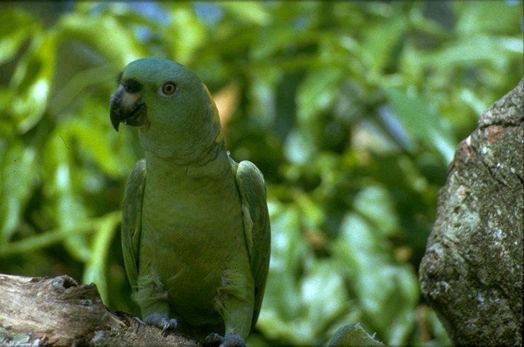 Re: i am looking for parrots - Yellow-naped Amazon Parrot (Amazona auropalliata); Image ONLY