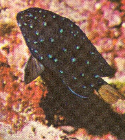 Re: Looking for Caribbean Tropical Fish the more colorful the better - yellowtailed_damselfish.jpg; Image ONLY