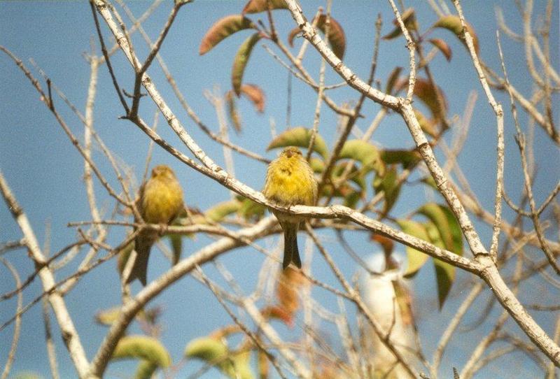Asal Usul Burung Kenari dan Harga Burung Kenari