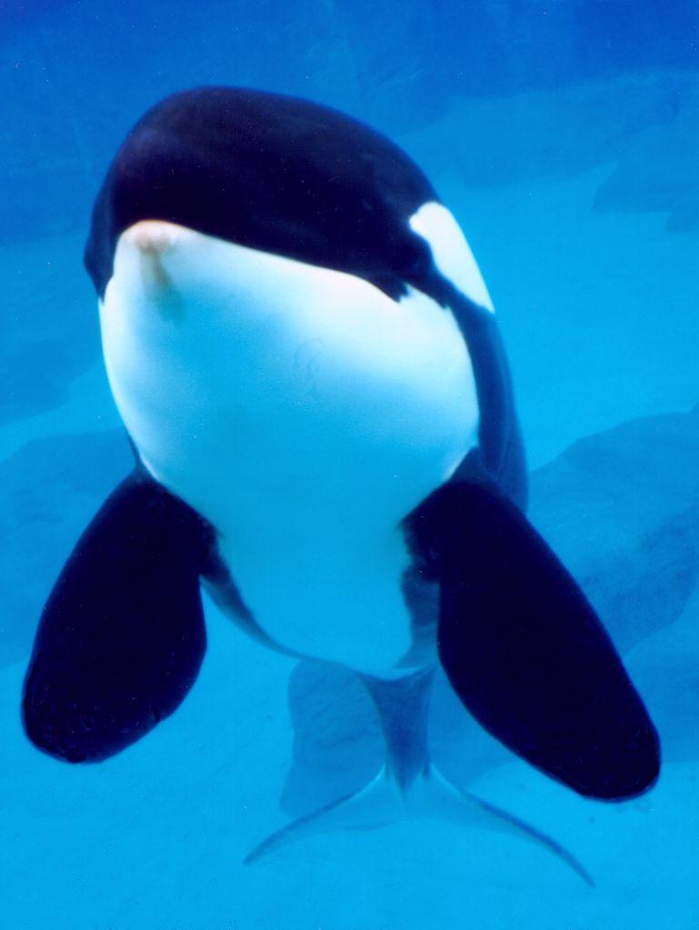 ORCA-DolOrca Shamu Underwater-Killer Whale-at Sea World CA-by Brian Scott.jpg