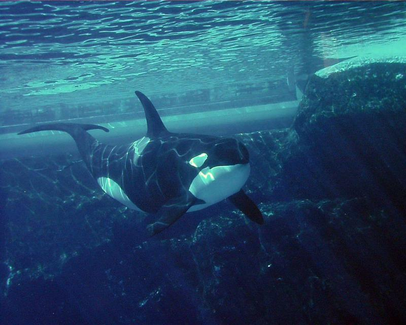 ORCA-PIC00431a-Killer Whale-at Sea World CA-by Brian Scott.jpg