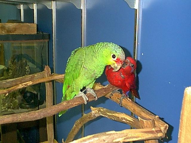 parrots--red lory and red lored--not the same thing; Image ONLY