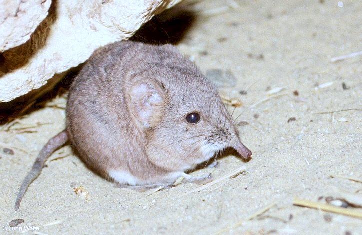 Zambales Shrew Rat rodent - short-...