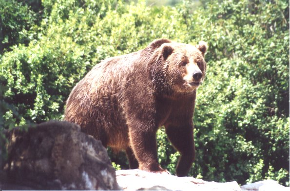 Brown Bear - Syracuse Zoo - New York; Image ONLY