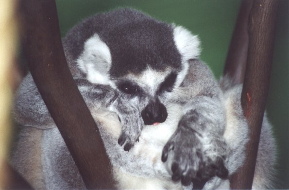 Ring-tailed Lemur - Syracuse Zoo, New York; Image ONLY