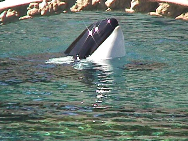 SY Vancouver Aquarium orca1-Killer Whale-by Sam Young.jpg