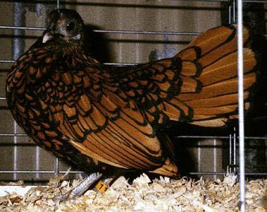SebrightGoldenHen-Domestic Chicken-by Lara deVries.jpg