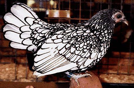 SebrightSilverPullet-Domestic Chicken-by Lara deVries.jpg