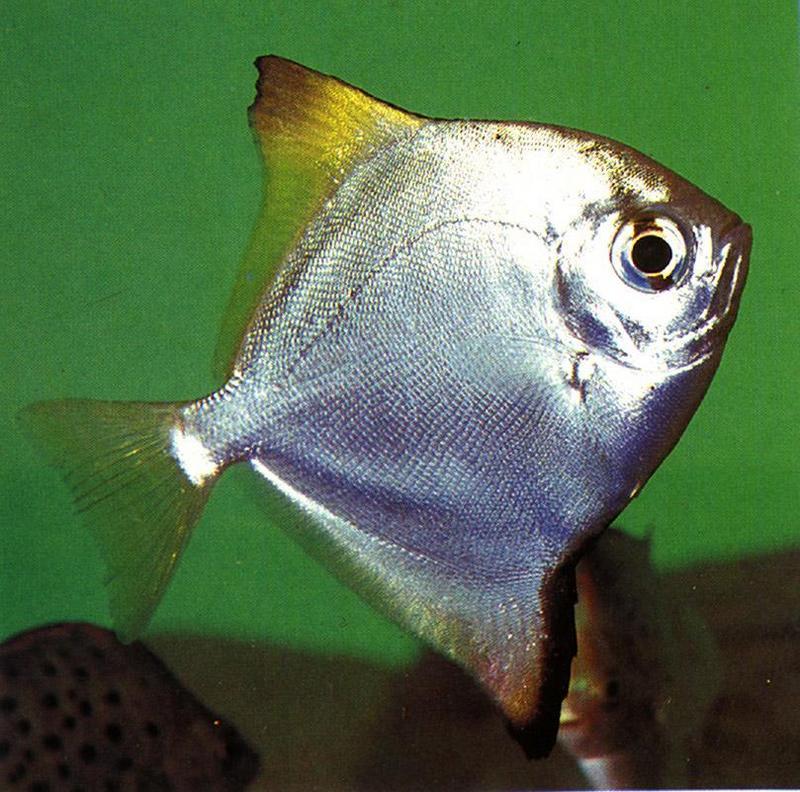 Silver Mono Fish argusfish.jpg (1/1) Re: REQ: Domestic Animals ...